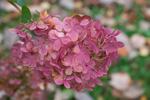 Hydrangea 'Strawberry Vanilla'