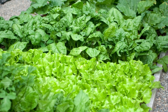 Heirloom Bloomsdale Longstanding Spinach and Black-seeded Simson lettuce