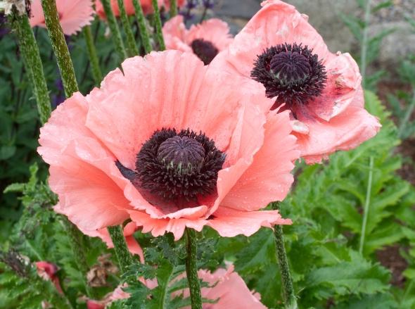 Oriental Poppies