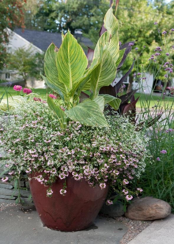 Canna 'Pretoria', Scaevola 'Topaz Pink', and Euphorbia 'Diamond Frost'
