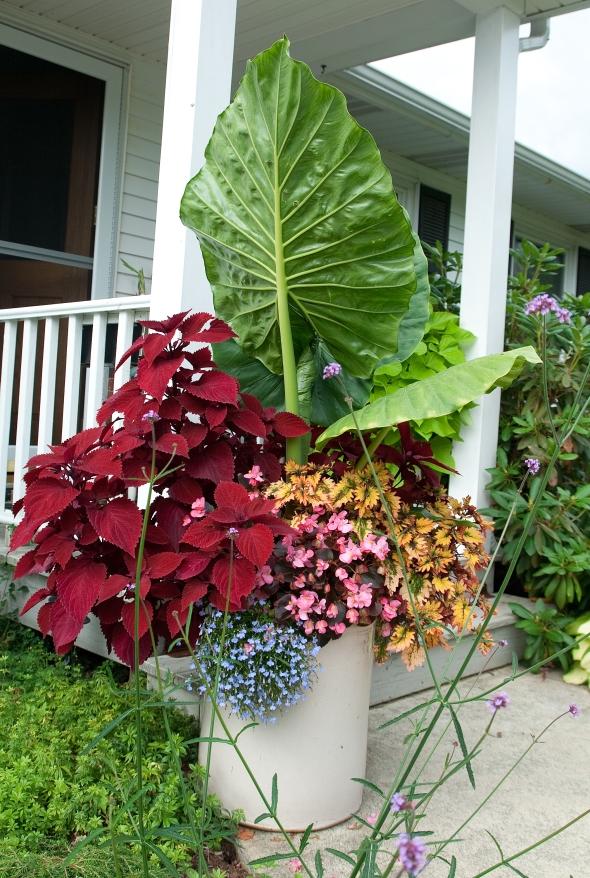 Alocasia 'Calidora', Coleus 'Redhead'. Coleus 'Smallwood Driveway, begonia and pale blue lobelia