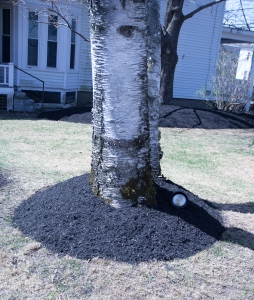 Mature trees can be harmed by too much mulch.