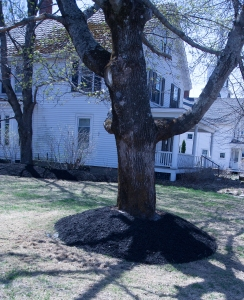After years of volcano mulching this tree is now in decline.